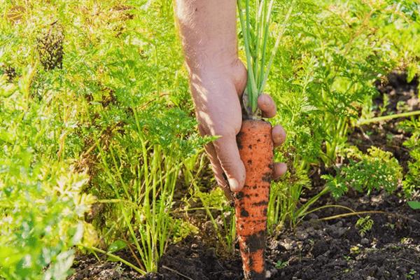 Как сажать морковь