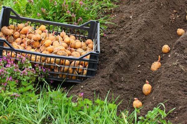 Как садить картофель