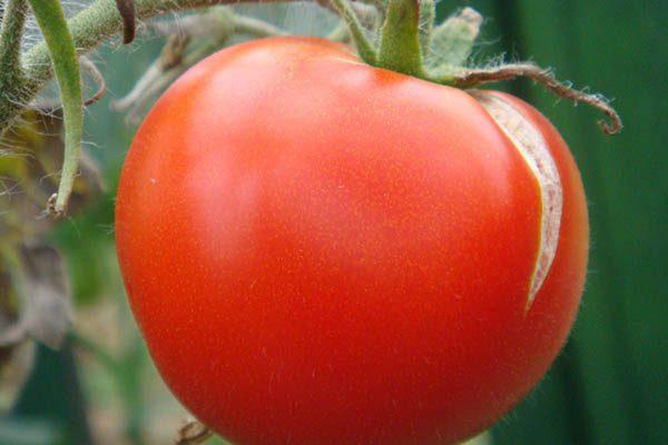 Почему трескают помидоры