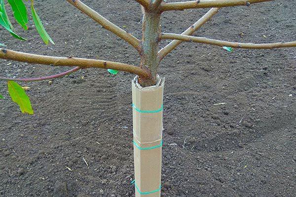 Как защитить деревья от зайцев?