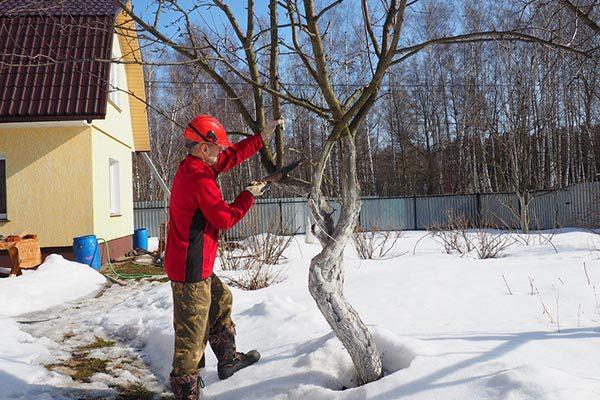 Обрезка яблонь зима